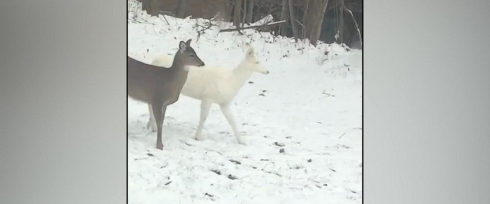 VIDEO: The four-legged visitor blended in with the white snow in Craig Atkins yard on Dec. 8.