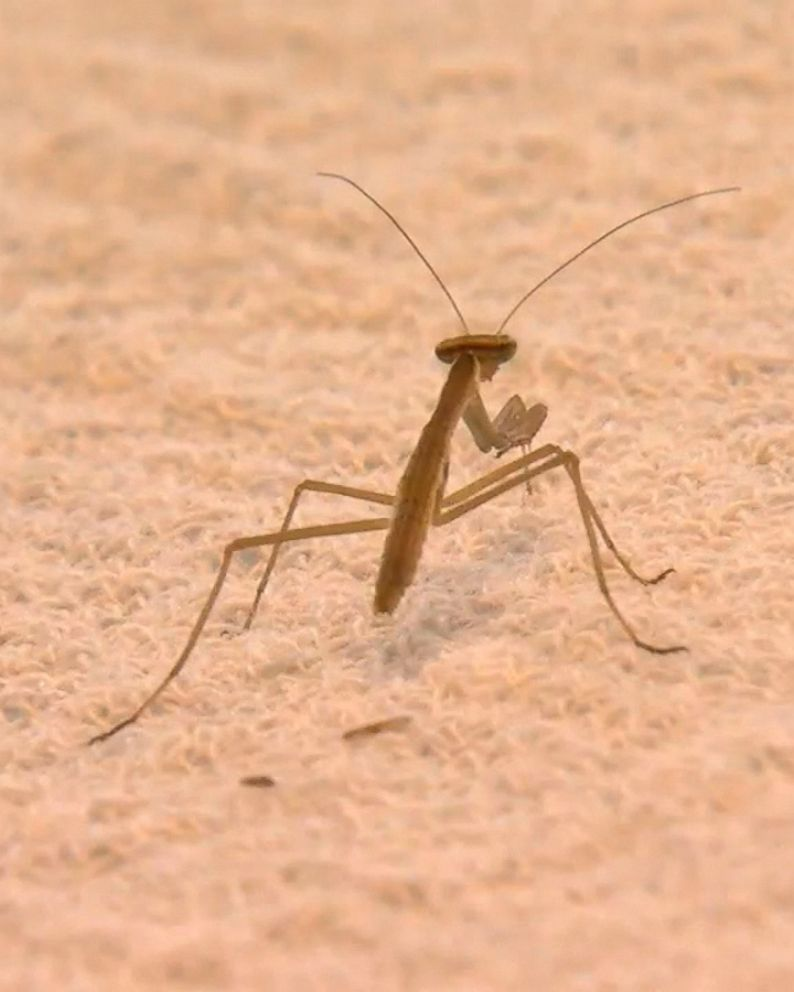 More Than 100 Praying Mantises Brought In By Christmas Tree Invade