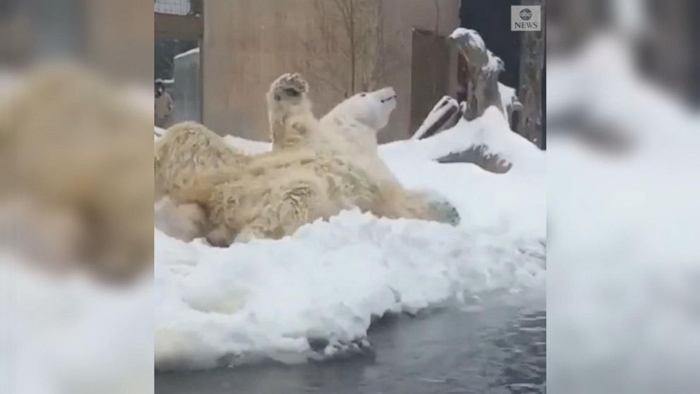 VIDEO: Polar bear enjoys snow day at New York zoo
