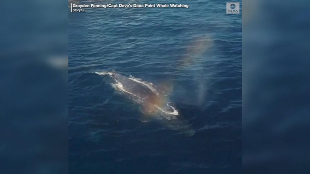 Making rainbows: Humpbacks surface off California coast
