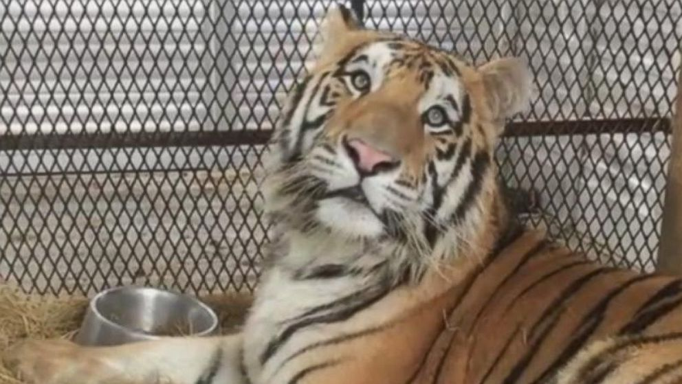 Tiger found caged in abandoned home gets second chance at wildlife sanctuary