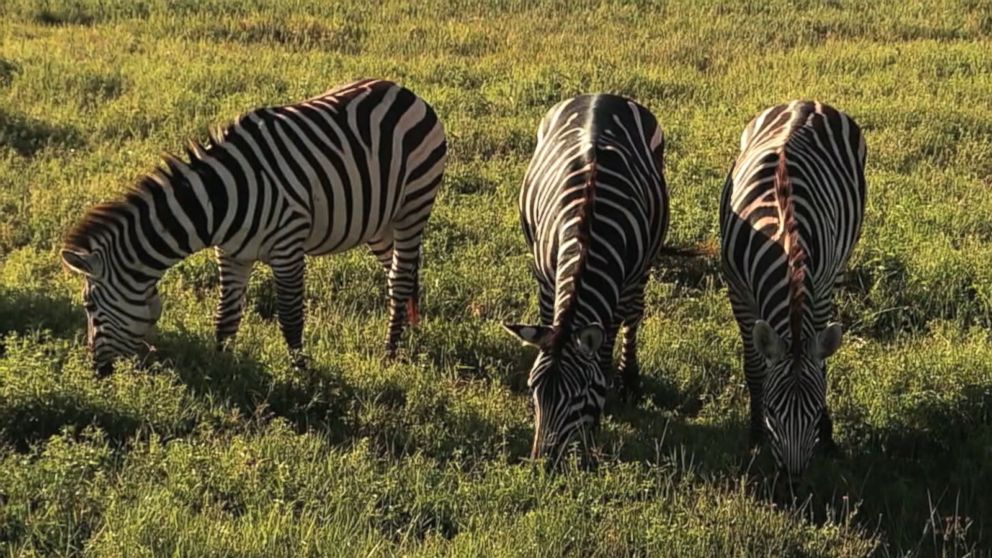 Scientists buzz on why zebras have stripes involves flies