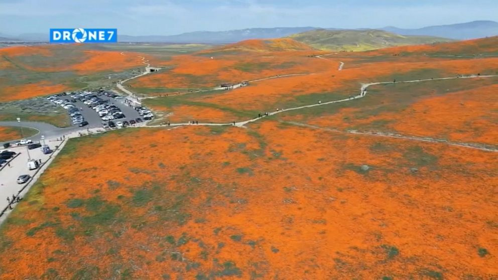 As California poppy fields bloom, officials search for couple that
