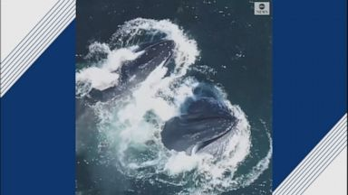 Pod of humpback whales spotted off Hawaii coast Video - ABC News