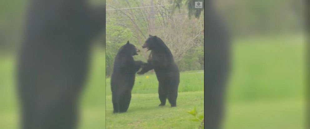 VIDEO: Big bears fight it out in front of New Jersey home