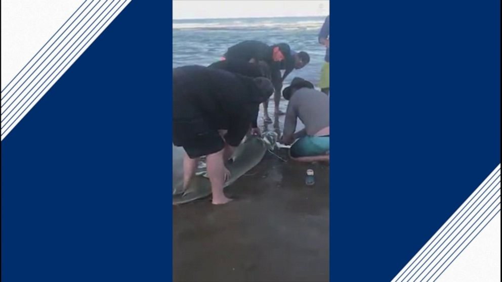 Beachgoers help fisherman remove plastic on shark's neck