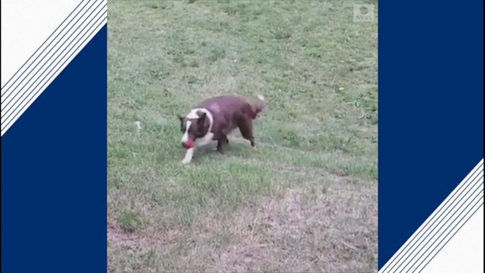 Dog plays fetch with himself