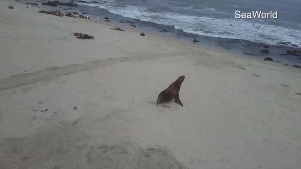 Sea lion pup trapped in plastic ribbon freed by SeaWorld San Diego specialists