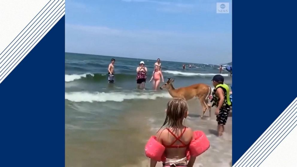 deer enjoys a day at the beach on lake michigan video abc news deer enjoys a day at the beach on lake michigan
