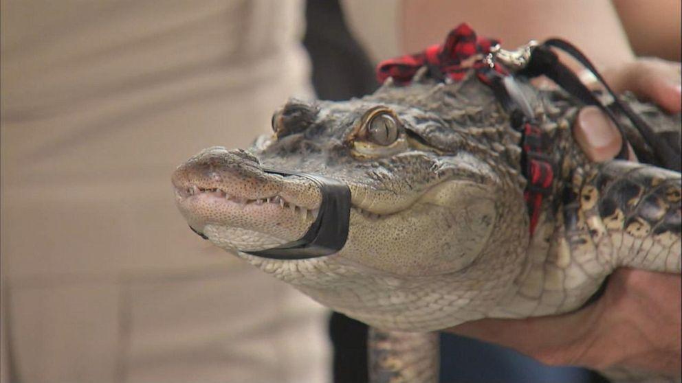 Alligator expert presents captured Chicago gator at news conference