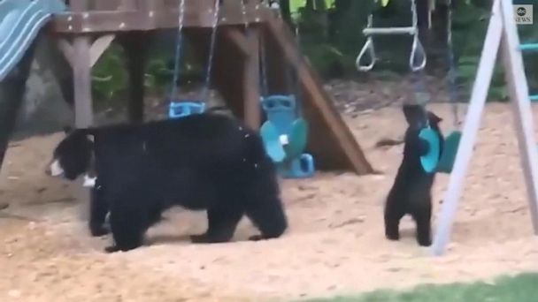 Bears have a ball on backyard swing set