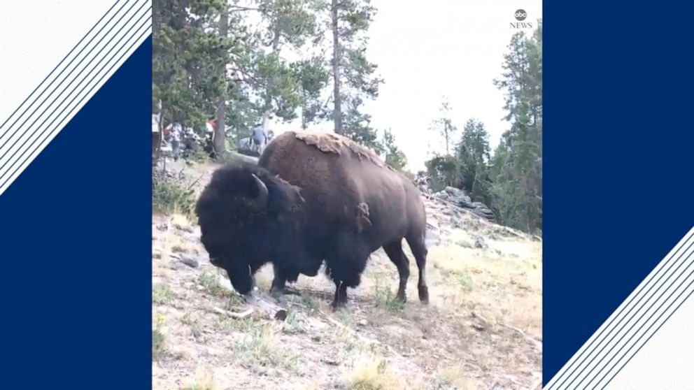 Bison Charges Injures 9 Year Old Girl At Yellowstone