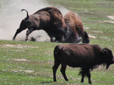 WATCH: Teen attacked by bison at park speaks out