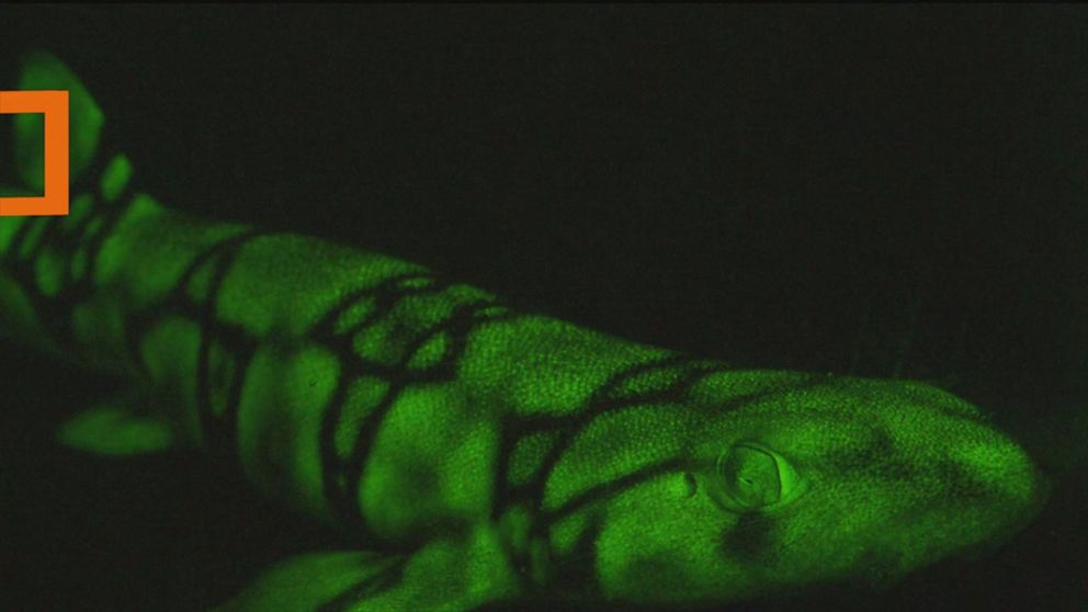 How these seafloor-dwelling sharks glow neon green - ABC News