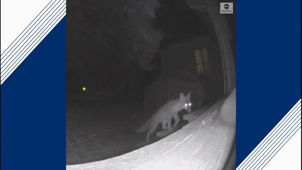 Foxes steal toys from porch belonging to blind dog