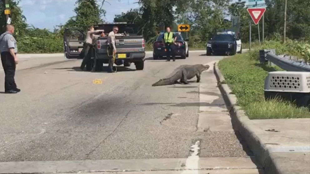 11-foot gator stops traffic on North Carolina road