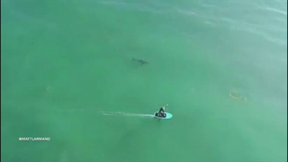 Aerial footage shows surfers riding waves only yards away from great white sharks