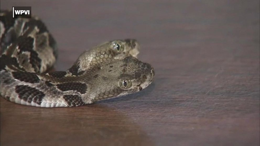 2-headed rattlesnake aptly named 'Double Dave' by men who