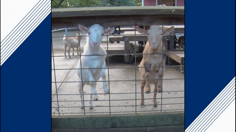 Herd of Nigerian dwarf goats frolick in zoo