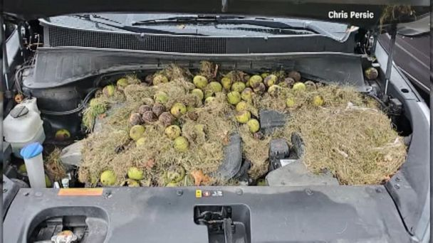 Pittsburgh woman finds walnuts and squirrel's nest under car hood