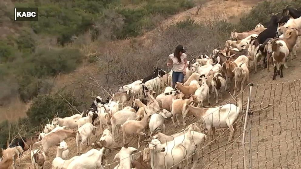 Over 1,000 goats needed to clear dry brush from California to help prevent wildfires