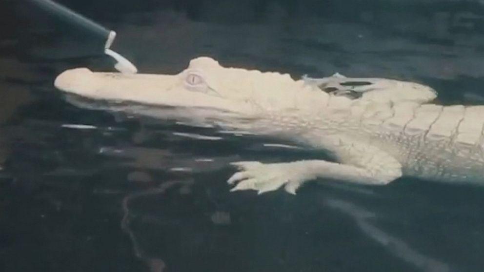 Albino alligator gets a scrub