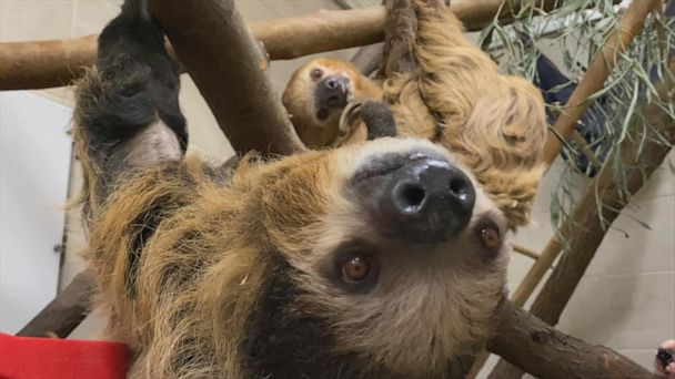 Sloth couple taking their budding relationship slow