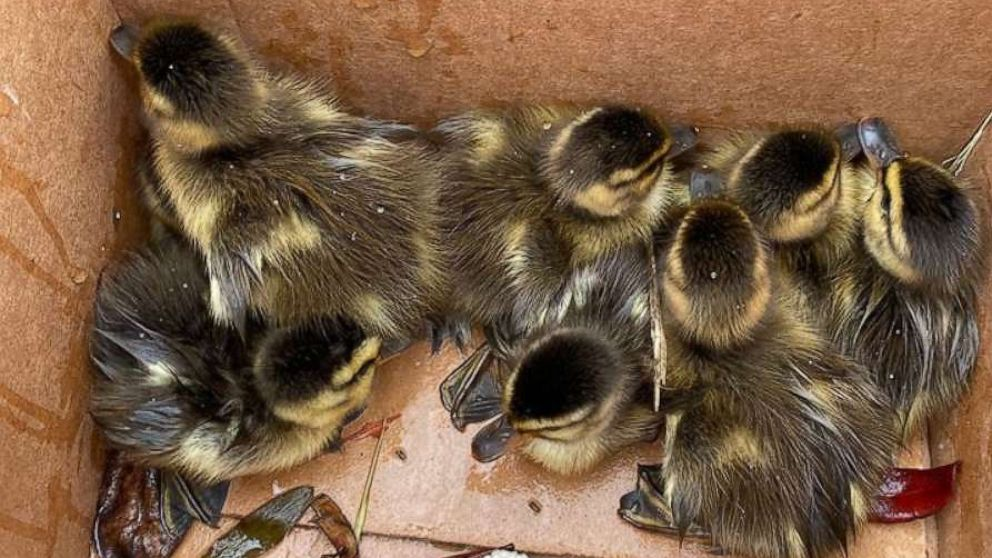 Officer rescues 8 ducklings from storm drain as worried mother looks on