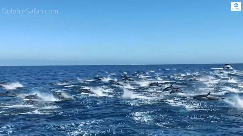 Huge pod of dolphins 'stampedes' through California waves