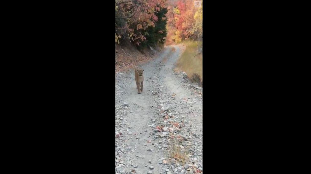 Cougar stalks hiker on Utah trail