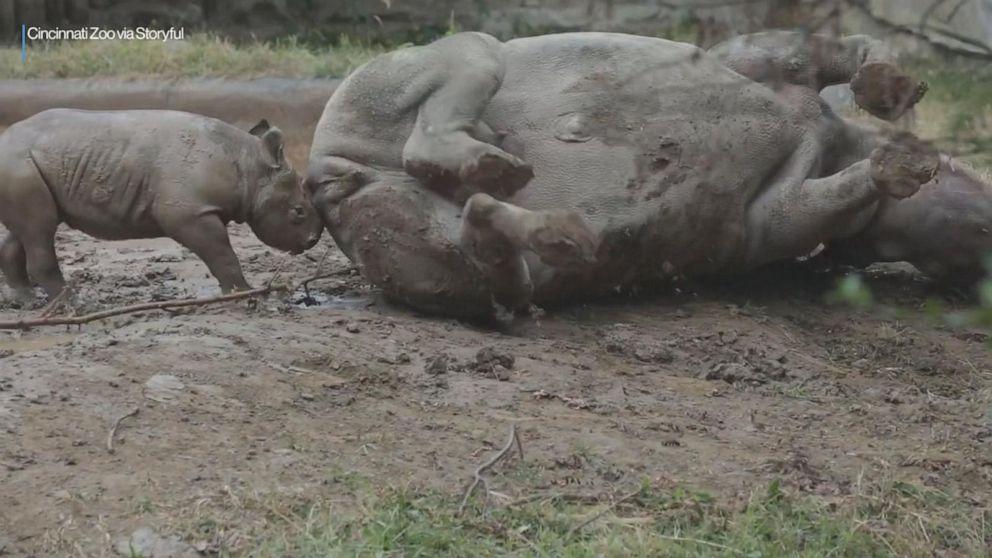 Rhinos roll in mud at Cincinnati Zoo