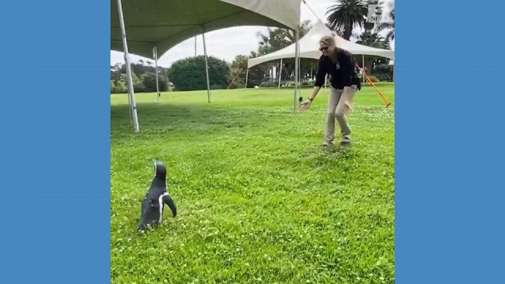 Humboldt penguin celebrates 6th birthday