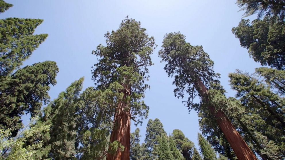 Saving sequoias from wildfires driven by climate change