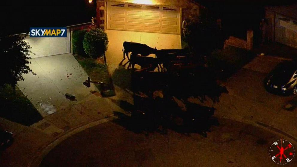 Herd of cows take over LA neighborhood