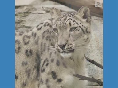 WATCH:  Snow leopard at San Diego Zoo catches COVID-19