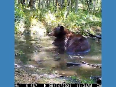 WATCH:  Bear takes dip in Lake Tahoe pond