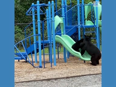 WATCH:  Bears play together at school playground