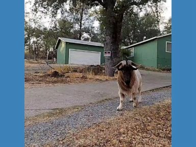 WATCH:  Videographer makes friends with affectionate goat