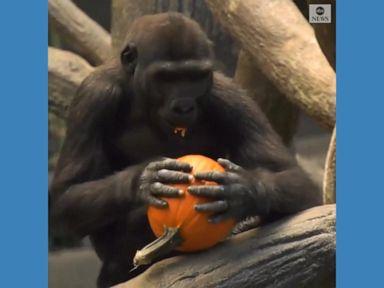 WATCH:  Animals celebrate Halloween at Chicago zoo