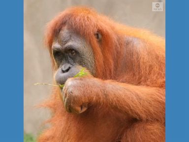 WATCH:  Rare orangutan pregnant with twins at Louisiana zoo