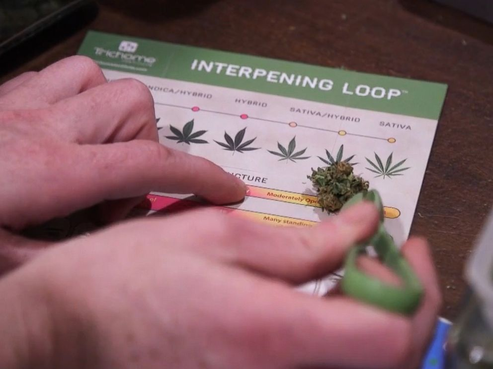 PHOTO: A cannabis sample is compared to the Trichome Institutes Interpening Loop.