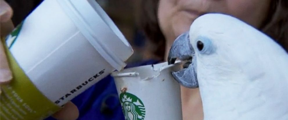 PHOTO: A Portland woman says her parrot, Kyara, has been a coffee drinker for seven years.