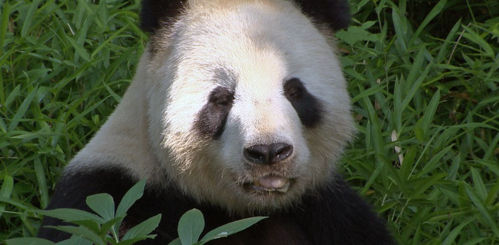 PHOTO: The two giant pandas at the Smithsonians National Zoo have been breeding since March.