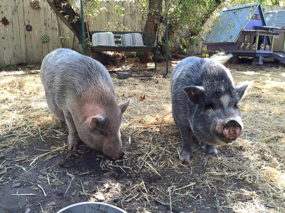 Woman Provides Sanctuary for 'Orphaned' Potbelly Pigs ...
