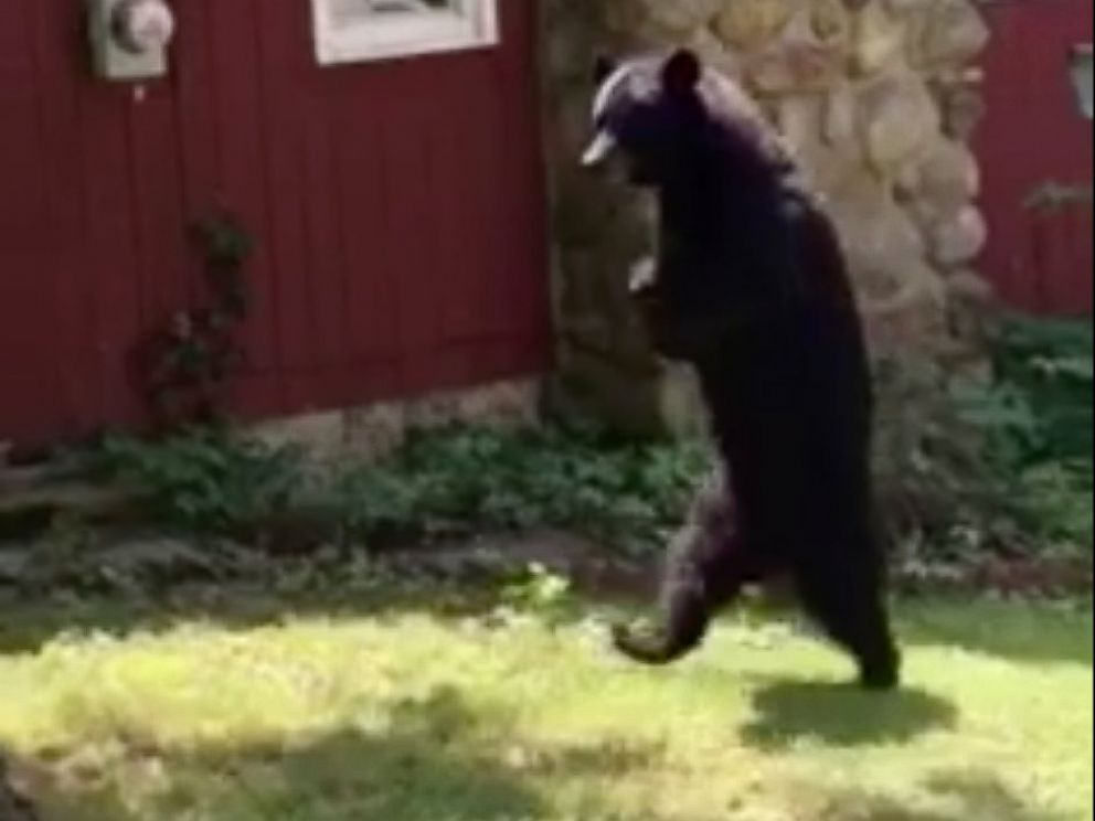 PHOTO: A New Jersey resident who spotted Pedals, the injured bear who walks upright like a human, said the bear was going strong.