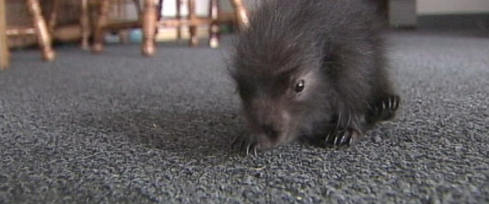 PHOTO: A Maine man rescued a baby porcupine from his mothers womb.