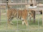 PHOTO: Tiger Mauls Employee in Exotic Animal Park in Oklahoma