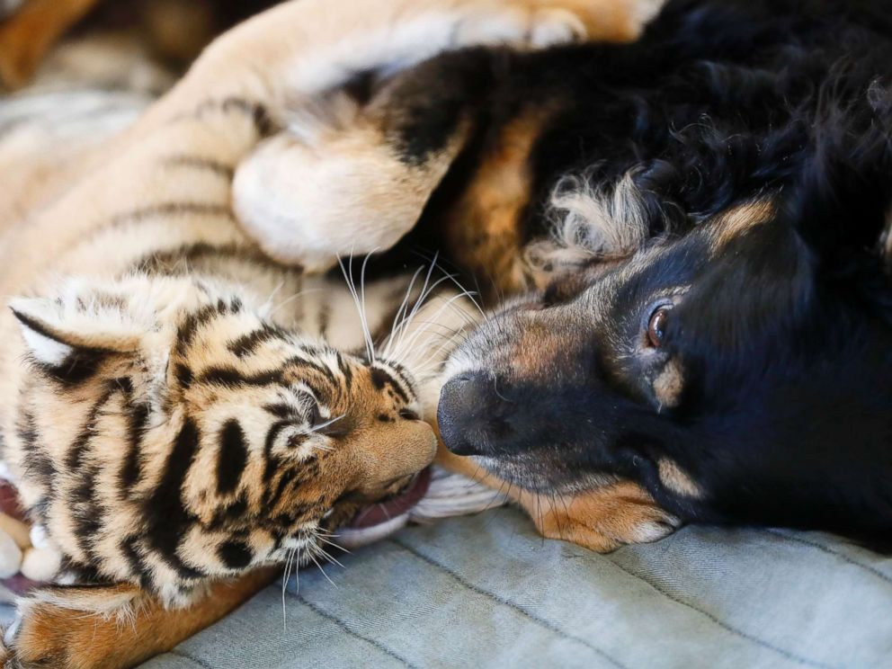 PHOTO:A Malaysian tiger cub plays with resident nursery dog Blakely at the Cincinnati Zoo & Botanical Gardens, March 29, 2017, in Cincinnati.