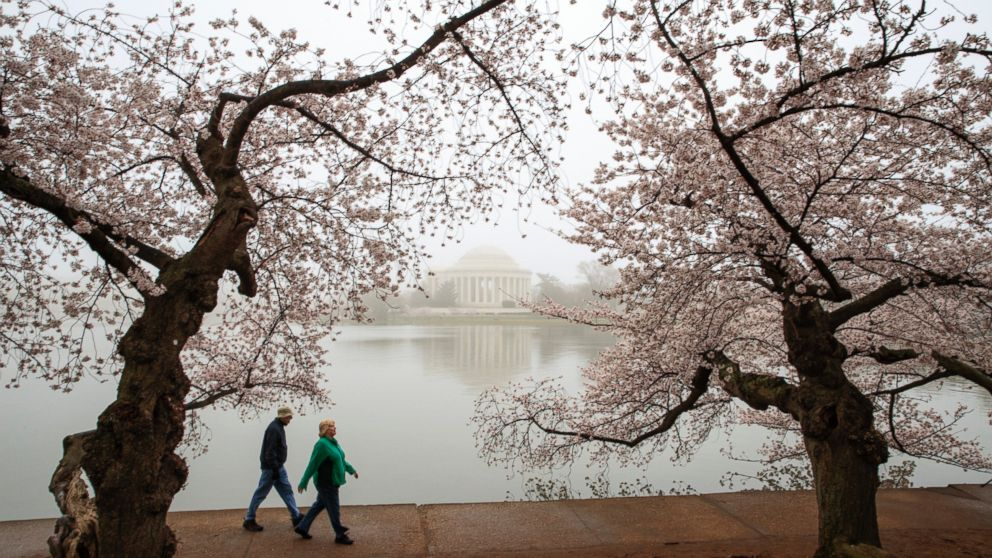 Early morning fog mutes the color of cherry blossoms on Washington's famous cherry trees surrounding the Tidal Basin near the Jefferson Memorial, March 27, 2017.