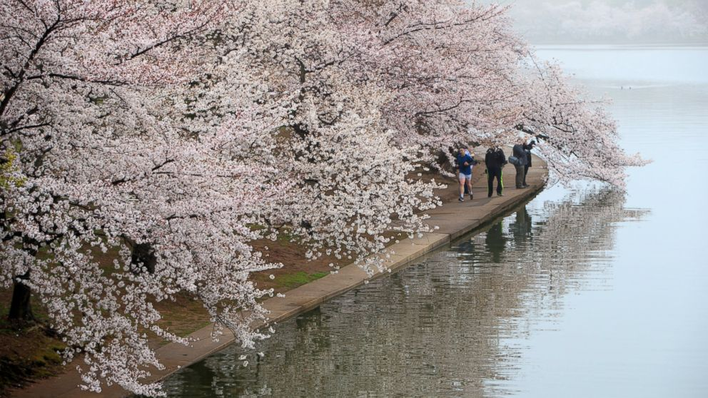 People walk along the Tidal Basin as fog mutes the color of cherry blossoms on Washington's famous cherry trees, March 27, 2017.